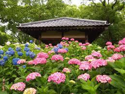 藤野森神社 アジサイ