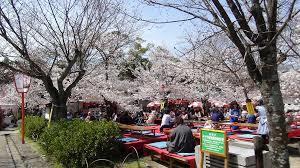円山公園 花見